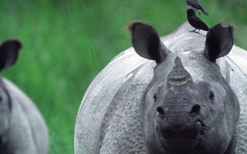 Two Indian rhinos with tick birds on their backs