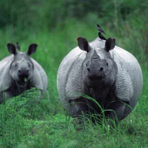 Photograph of two rhinos in India facing the camera with tick birds on their backs