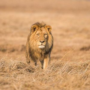 lion photographed by andrew white