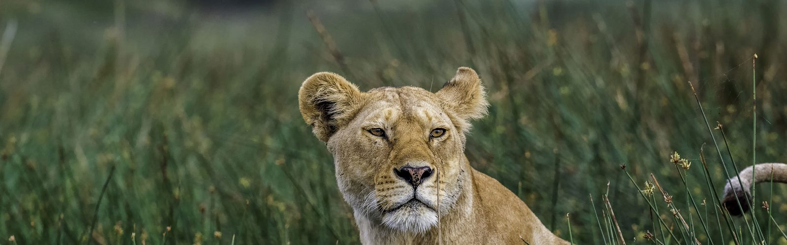 Cropped image of a lioness tail raised in grass