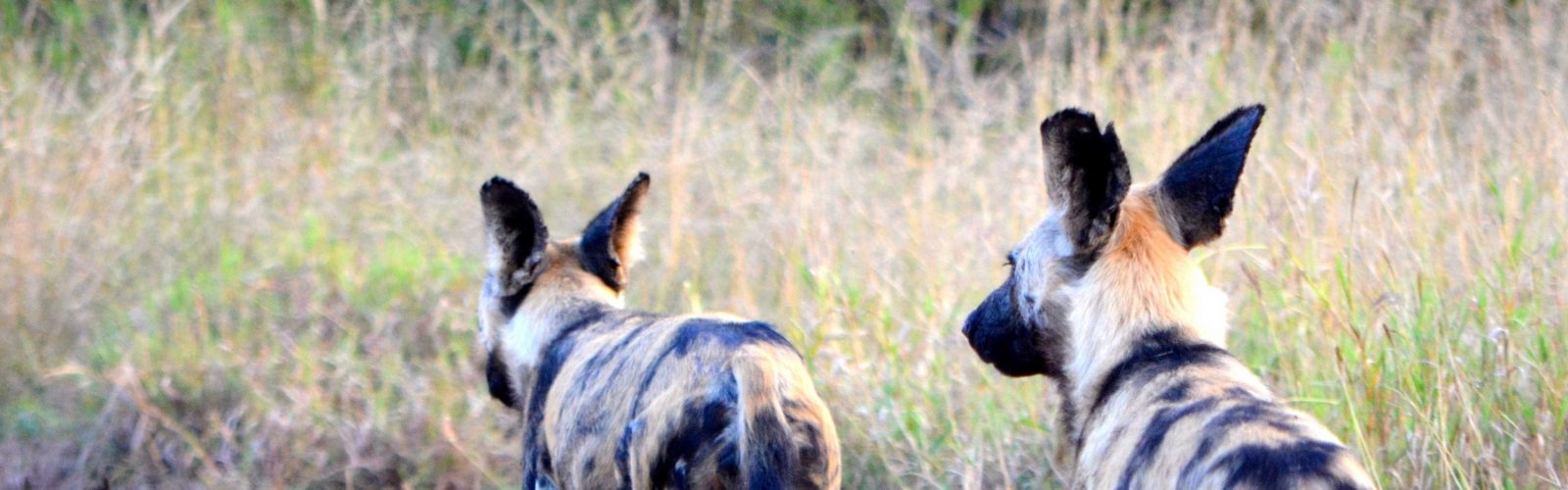 painted dogs photographed by colin mccluney