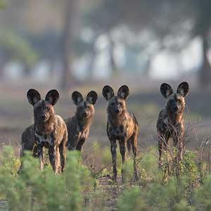 pack of painted dogs