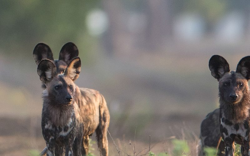 painted dog pack photographed by nicholas dyer