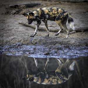 painted dog reflection by matt armstrong-ford