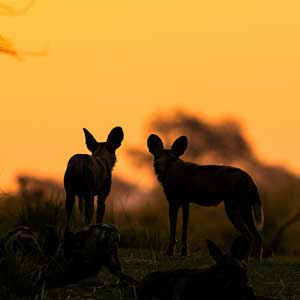painted dogs with sunset