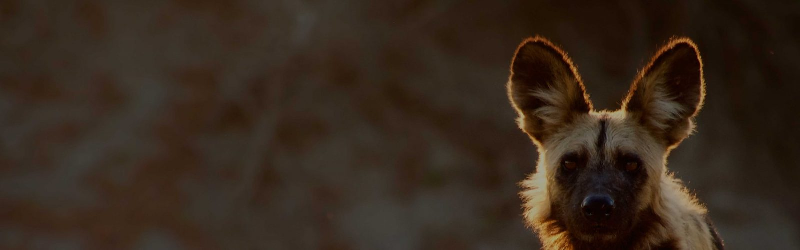 Cropped photograph of wild dog by Andrew Macdonald
