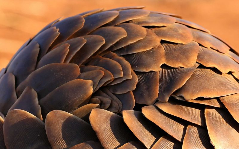 pangolin photographed by will riley