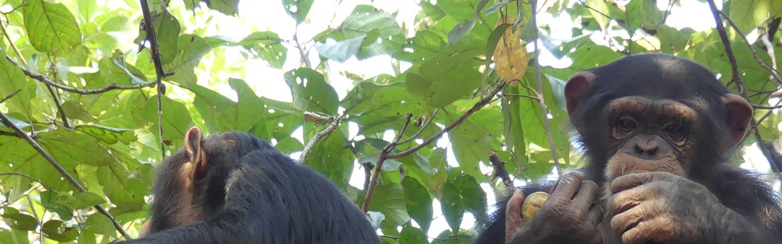 Cropped image of two chimpanzees in a tree eating fruit