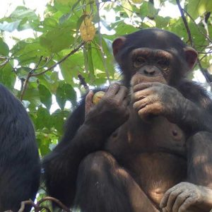 Two chimpanzees sitting in a tree eating fruit
