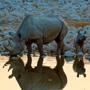 rhino and calf photographed by andrew white