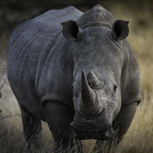 african rhino photographed by matt armstrong-ford