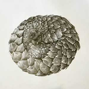 graphite pencil sketch of a pangolin rolled in a ball