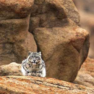 snow leopard sat down