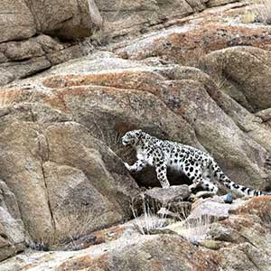 snow leopard walking up a rocky hill