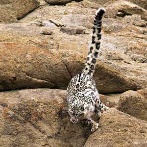 snow leopard jumping