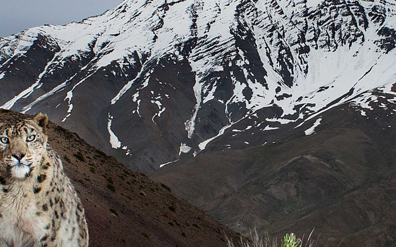 snow leopard with mountainous background