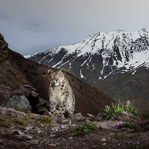 snow leopard photographed by behzad larry
