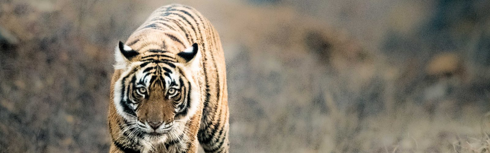 tiger walking photographed by behzad larry