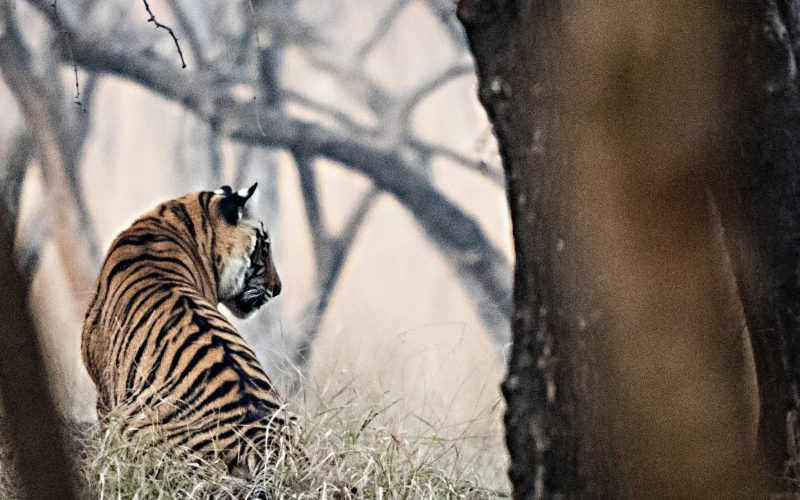 Photograph of a tiger from behind through trees