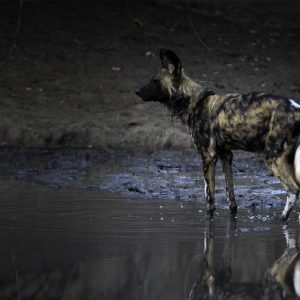 painted dog photographed by matt armstrong-ford