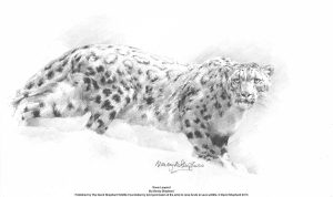 Buy this snow leopard print by Mandy Shepherd in aid of conservation