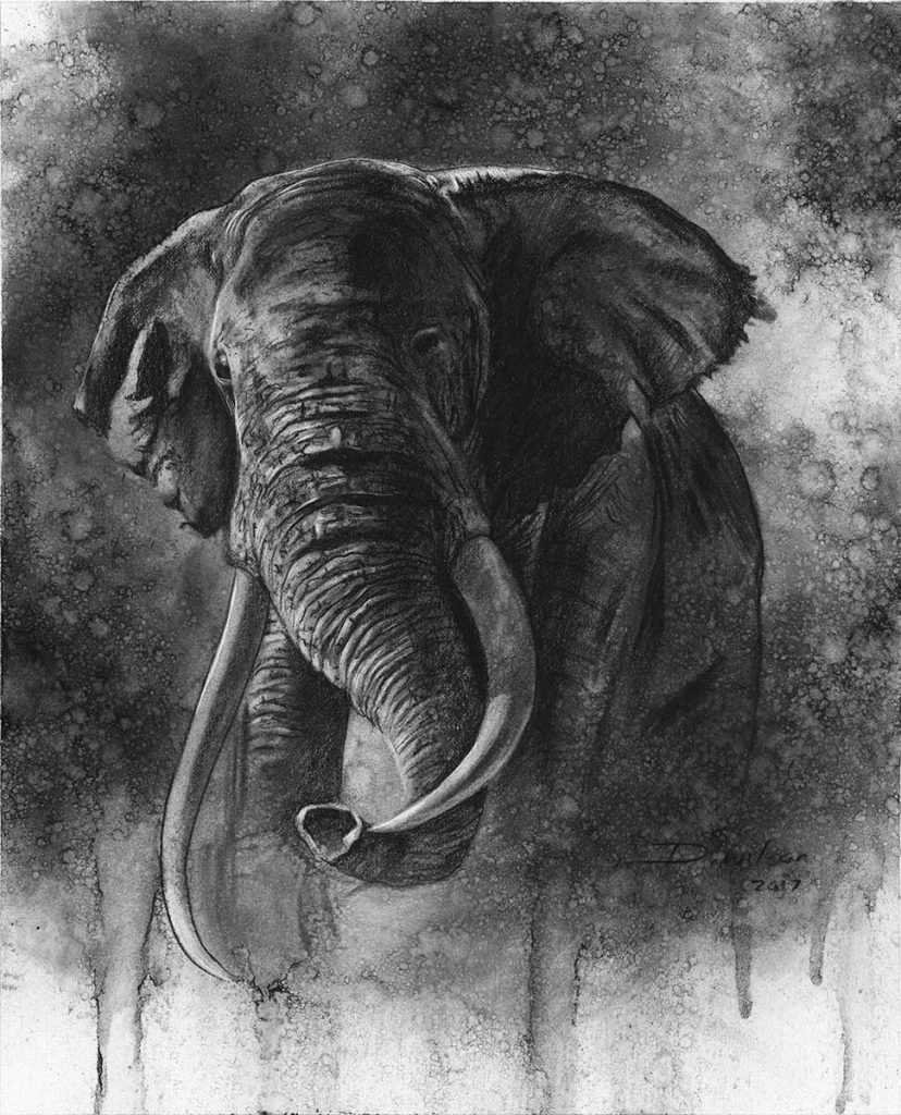 elephant charcoal drawing by david wilson
