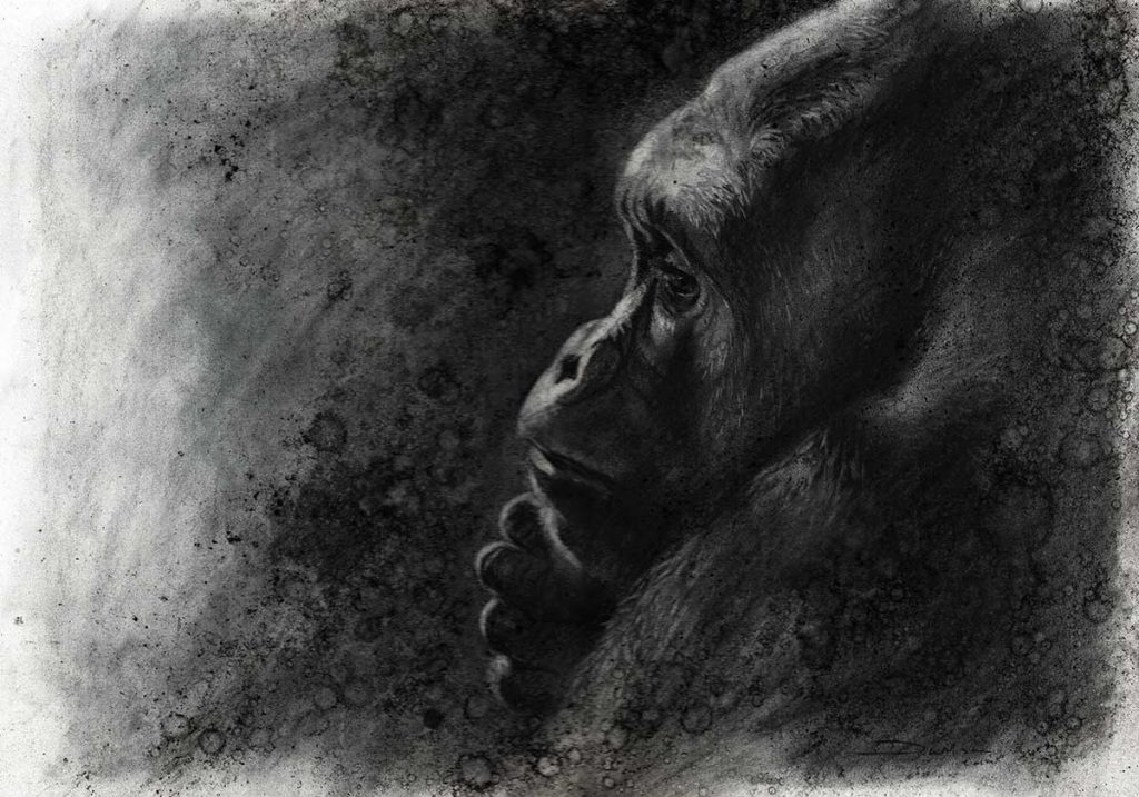 gorilla charcoal drawing by david wilson