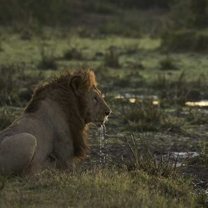 lion photograph by james hendy