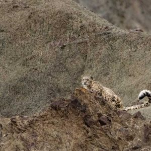 behzad larry photography of a snow leopard
