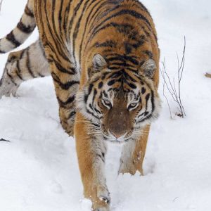 Alexander Ratnikov photograph of amur tiger