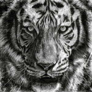 charcoal drawing of a tiger by david wilson