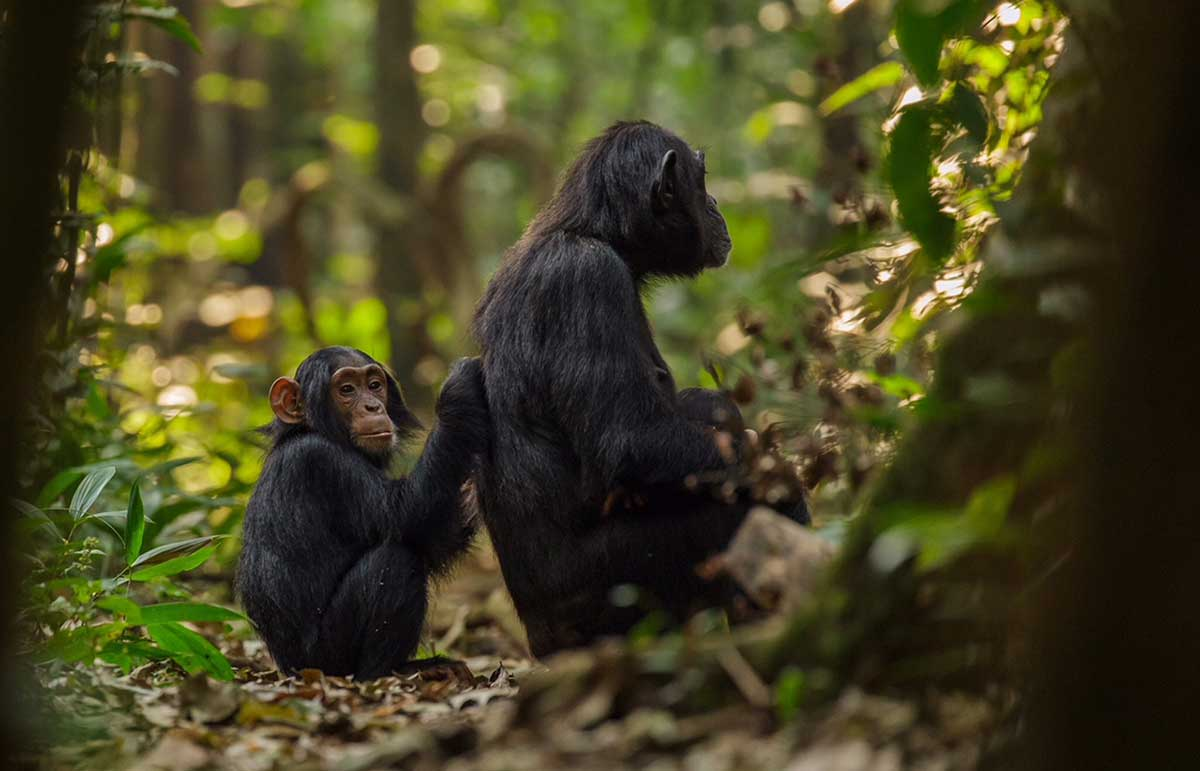 Young chimpanzee grooming adult to remove insects and dead skin, grooming also helps to relax and bond chimpanzees