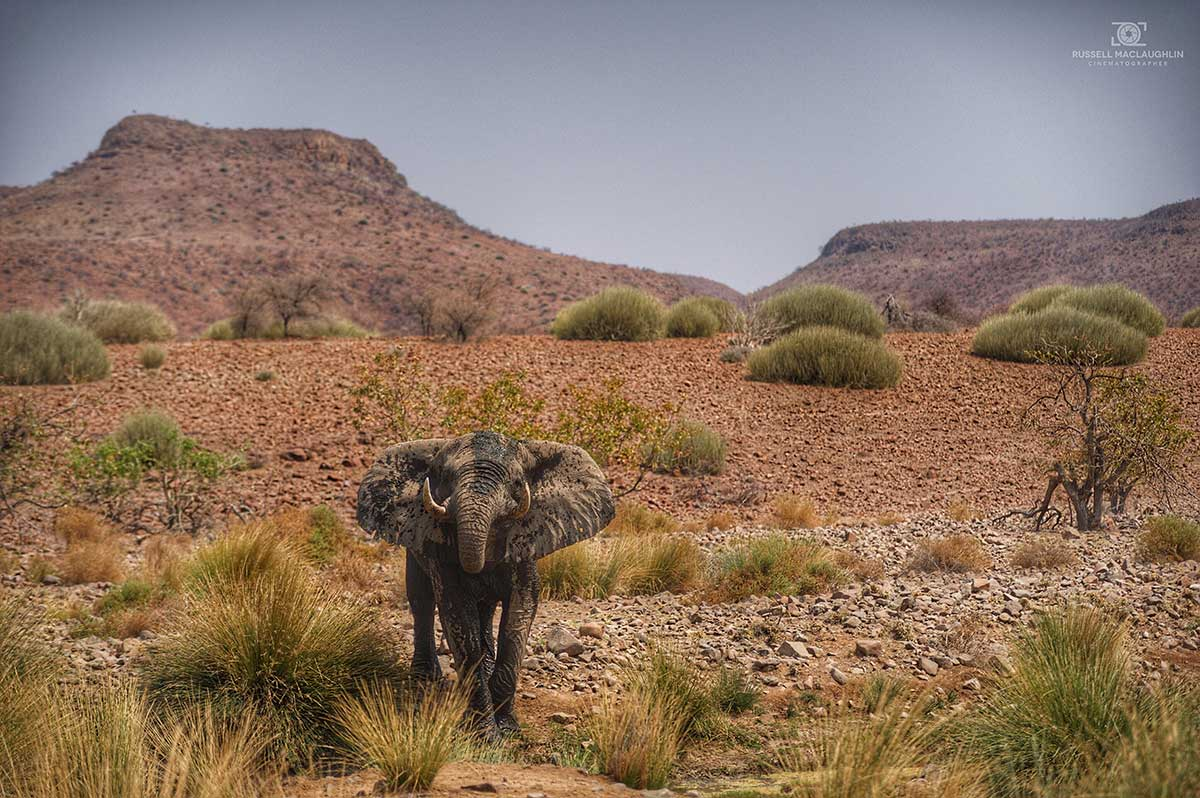 desert-adapted elephant in Namibia