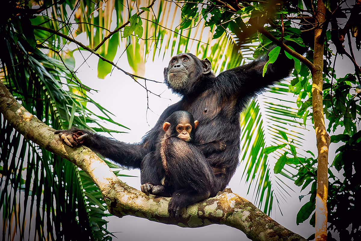 Mother and baby chimpanzee in tree
