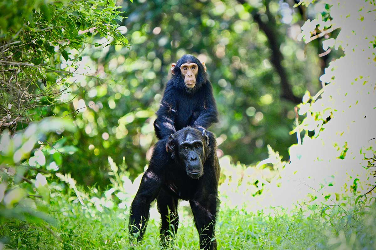 Chimpanzee knuckle walking