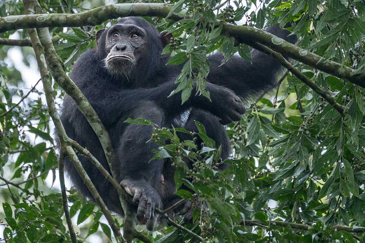 Chimpanzee resting in a tree