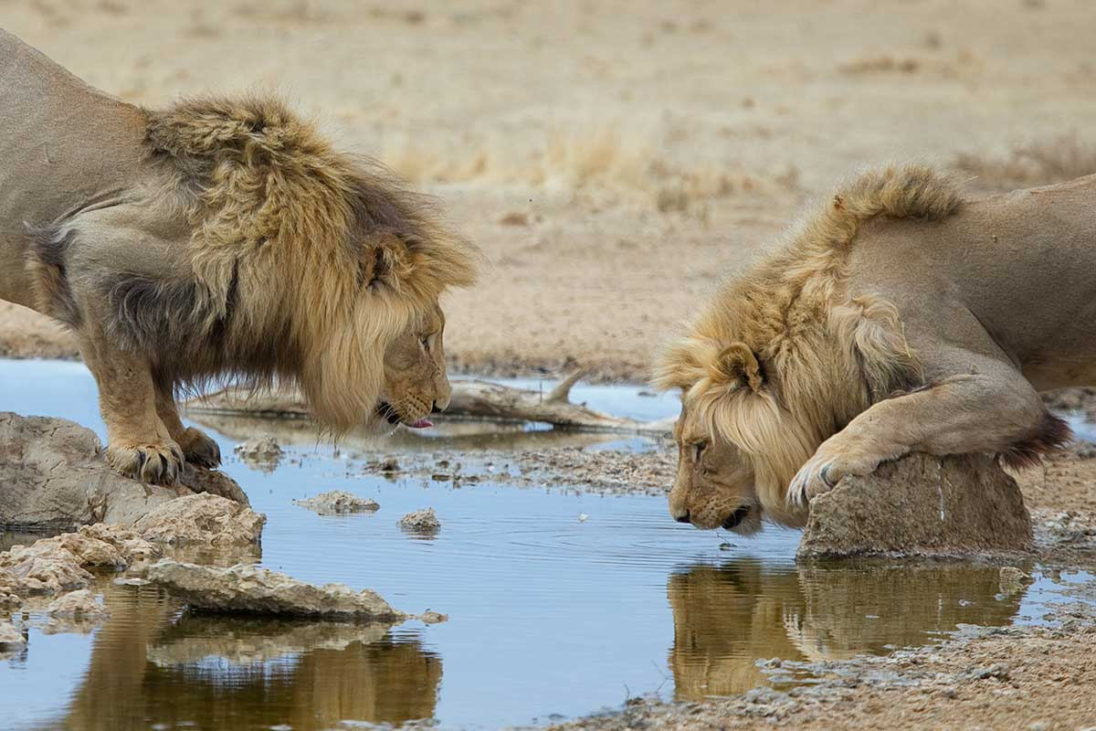 adult male lions drinking