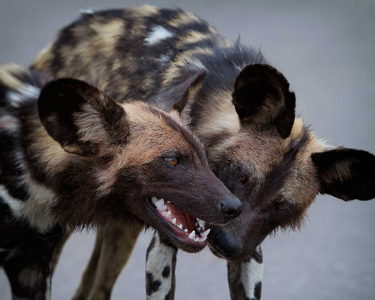 painted dogs bonding