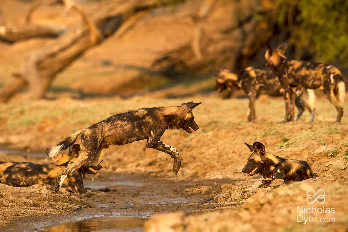 painted dog jumping