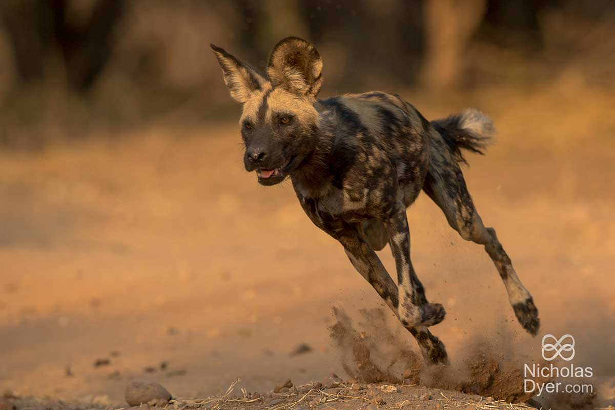 painted dog running