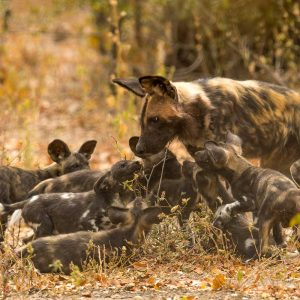 painted dog puppies