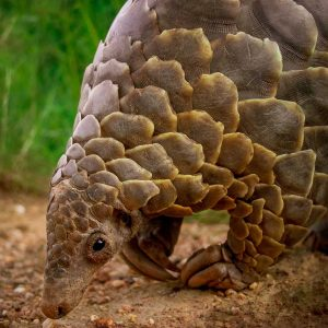close up of pangolin