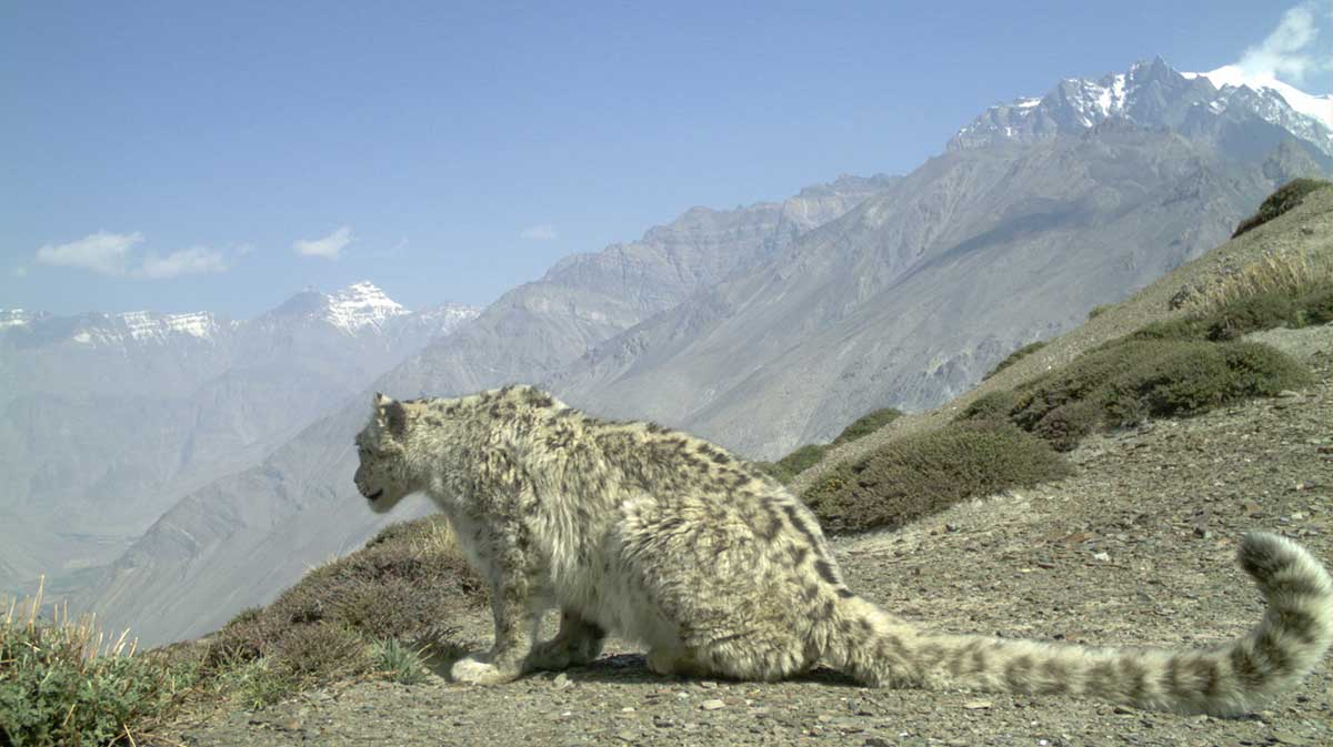 snow leopard looking off rock