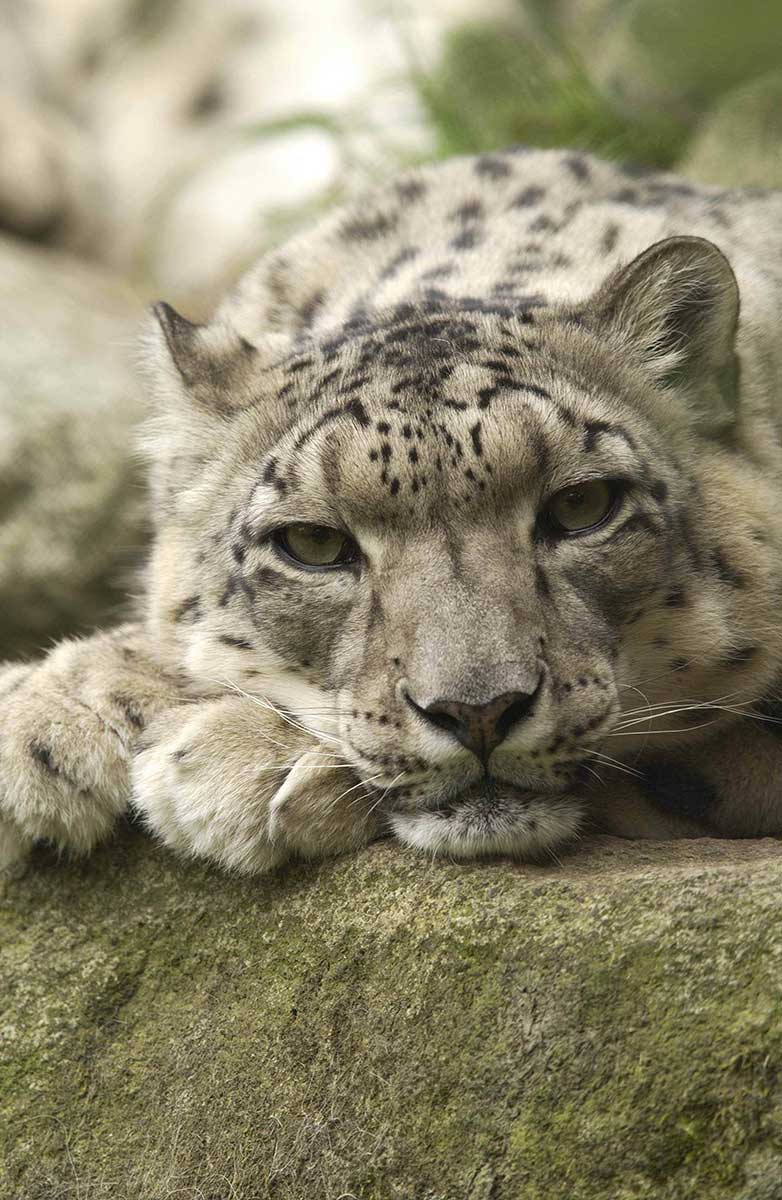 close up of a snow leopard
