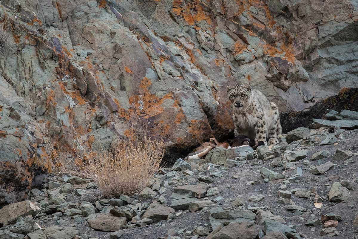 snow leopard eating prey