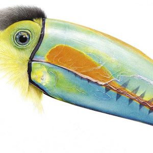 pencil drawing of a toucan