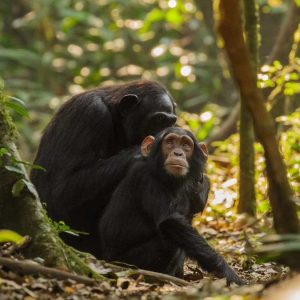 josh iremonger photography of a young chimpanzee