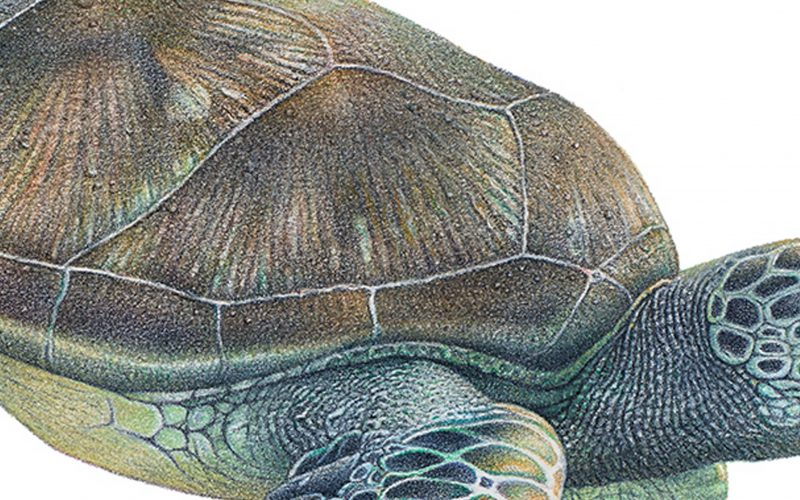 a coloured pencil drawing of a turtle turning into bubble wrap
