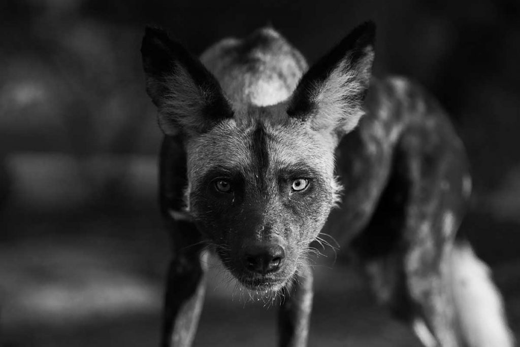 black and white portrait of a painted dog
