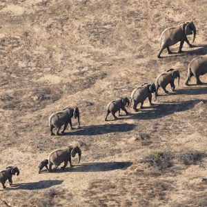 arial photography of a herd of elephants